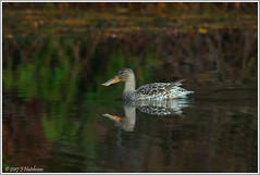 Northern Shoveler Duck (John David Hutchison) Tags: duck shoveler