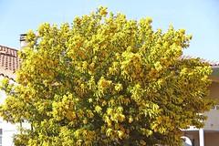 France, les Mimosas sont en fleurs en Languedoc malgré la pluie (Roger-11-Narbonne) Tags: narbonne ville arbre palmiers languedoc occitanie mer mimosa fleurs