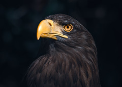 Atmospheric Sea Eagle Portrait (Orias1978) Tags: wings beak nature haliaeetusalbicilla insect background snow whitetailed blue majestic scotland flight predator feathers wilderness catch cold white big haliaeetus fish ice raptor freedom prey wildlife japan winter hunt seaeagle water ocean avian ornithology fly eagle albicilla animal norway flying feather wild fishing erne skye balderne bird landscape sky sea fauna hunting marine hokkaido