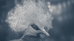 Bird - 8017 (✵ΨᗩSᗰIᘉᗴ HᗴᘉS✵90 000 000 THXS) Tags: pairidaiza bird animal belgium europa aaa namuroise look photo friends be yasminehens interest eu fr party greatphotographers lanamuroise flickering challenge oiseau monochrome