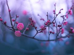cold morning (Tomo M) Tags: plum 梅 flower winter morning bokeh branch tree blur