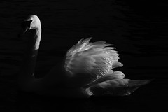 _T6A8823REWS Essence - Swan, © Jon Perry, 17-1-20 zbs (Jon Perry - Enlightenshade) Tags: swan dark highlight lowkey 17120 20200117 jonperry enlightenshade arranginglightcom