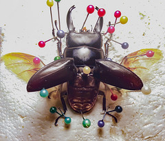 stag beetle spread - 10.27.19 (TigerCoin) Tags: crafts beetle insecttaxidermy etsy