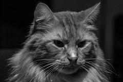 Thoughtful (CraDorPhoto) Tags: sonyrx10 cats pets mainecoon blackandwhite mono monochrome