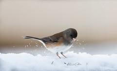 Playing in the Snow (Kares Custom Photography) Tags: d810 nikon sigma sigma150600 junco birding snow naturephotography