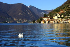 The swan (annalisabianchetti) Tags: swan cigno lake lakeiseo lagodiiseo landscape paesaggio beautiful italy travel