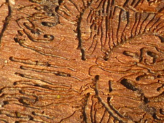 Gangmuster Borkenkäfer (Jörg Paul Kaspari) Tags: osburgerhochwald winter piceaabies fichte borkenkäfer spur rinde gänge muster pattern gangmuster bark beetle gängeviertel holz wood