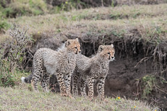 Fluffy (Tris Enticknap) Tags: africa cheetah kenya maranorthconservancy masaimara acinonyxjubatus