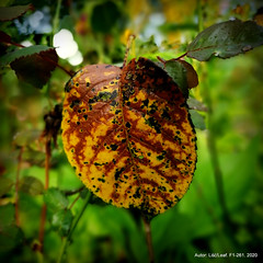 F1-261. 2020 (lisc.leaf) Tags: leaf liście leaves leafart liść lisc liscie liściu autumn jesień