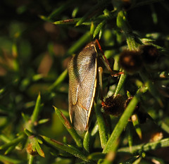 gorse shieldbug (Johnson Cameraface) Tags: 2020 january winter olympus omde1 em1 micro43 mzuiko 60mm macro f28 johnsoncameraface gorsesheildbug piezodoruslituratus