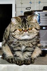 """La mia gattina Miu e la """" M """" sulla fronte.- My Miu kitten and the """"M"""" on the forehead. (Eugenio GV Costa) Tags: approvato gatto cat gatti cats animal animalidomestici miu gattina"""