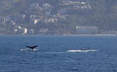 Watching in Puerto Vallarta (mikeginn12000) Tags: whales humpback puertovallarta mexico vidanta canon sea ocean whalewatching