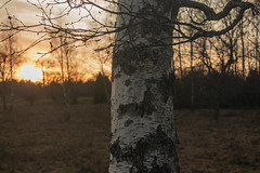 kväll i Hultsby januari björk (kellanderjonas) Tags: sunset birch pole sky canonshot kellanderjonas