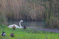 Wetlands Sussex (Adam Swaine) Tags: swans mallards birds waterfoul winter wetlands sussex westsussex flora england english britain british canon uk ukcounties counties countryside adamswaine 2020 waterways ponds seasons county walks