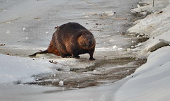 Beaver along stream (Frame To Frame - Bob and Jean) Tags: beaver animal wildlife wilderness ontario canada mammal outdoors nature trees snow river ice water