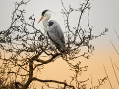 Heron in the tree (michelle_hall1) Tags: heron greyheron birds wildlifenature middletonlakes