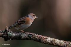 _JRH4906 (jeanrene31240) Tags: oiseaux pinsons pinsonsdesarbres ddo domainedesoiseaux mazères midipyrénées ariège occitanie france