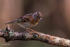 _JRH4911 (jeanrene31240) Tags: oiseaux pinsons pinsonsdesarbres domainedesoiseaux ddo ariège midipyrénées occitanie france