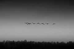 I love black and white most of the time (matwolf) Tags: birds blackandwhite monochrome mono schwarzweis natur nature vögel wildenten wildgeese sky