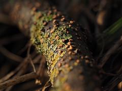 carrots and lettuce (Johnson Cameraface) Tags: 2020 january winter olympus omde1 em1 micro43 mzuiko 60mm macro f28 johnsoncameraface fungi lichen focalstack