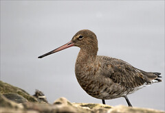 Photo of Black Tailed Godwit