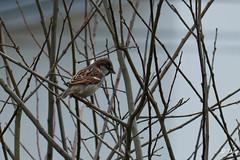 DSC_3658 (daniellavandier) Tags: moineau domestique passer domesticus bird oiseau nikon d500 tamron 150600g2 gironde
