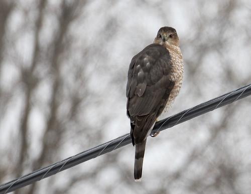 Coopers Hawk - Greece - © Jeff Eichner - Jan 22, 2020