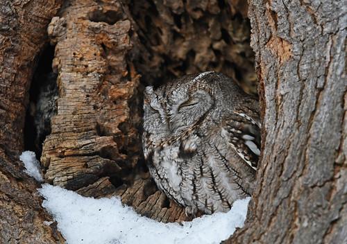 Eastern Screech-Owl - Pittsford - © Dick Horsey - Jan 22, 2020