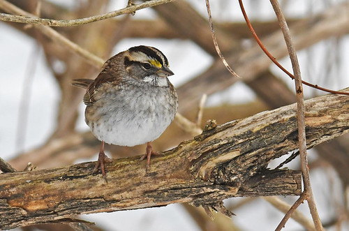 White-throated Sparrow - Mendon Ponds - © Dick Horsey - Jan 22, 2020