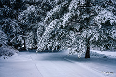 Snow (Anymouse02) Tags: tree pine snow wet falling flakes nature home