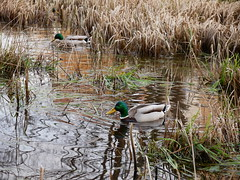 (D. Revelj) Tags: nature pond mallard reed landvetter duck