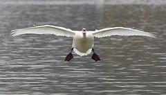 Incoming swan (legoman1691) Tags: swan nature wildlife wildbird naturephotography wildlifephotography