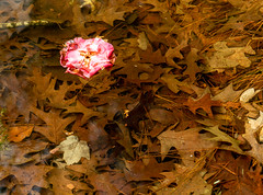 Circular Polarizer Study 1a (Puddin Tain) Tags: miyazakijapanesegarden japanesegarden virginiabeach redwingpark circularpolarizer pond water leaves azalea nikond850 nikon d850