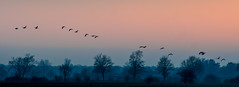 but sometimes it just has to be color (matwolf) Tags: sunset sky color nature natur geese gänse trees bäume ngc evening