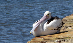 Pelican (Scene the light...) Tags: swan river perth western australia most beautiful place world pelican feathers sunny wall
