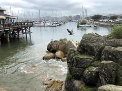 Monterey Bay Harbor (zoniedude1) Tags: california monterey montereybay harbor seagull marina wharf oldfishermanswharf boats pier sailboats scenic view beauty coastalcalifornia iphone8plus psp2020 zoniedude1