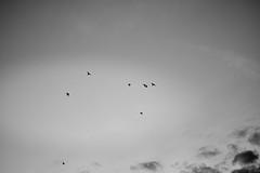 IMG6II_20850 (surluis) Tags: palomas cielo bn