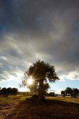 IMG6II_20922 (surluis) Tags: atardecer olivo sol