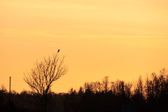 Buzzard at Sunset (Matilda Christiansson) Tags: buzzard commonbuzzard öland sweden sunset orangesky sky bird wildlife trees silhouette canon canoneos500d nature roadside countryside wires källa scandinavia