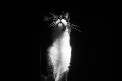 Banjamin the Cat (Mad-HugoMX) Tags: blackandwhite animal pet cat mono monochromatic neko gato