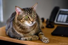 Echo at 35 Months (Cameron Knowlton) Tags: nikon pet pets cat animals echo d810 cats portrait petportrait
