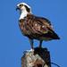 Osprey bird -  Fort De Soto Park  -  St. Petersburg Florida
