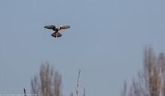 9Q6A5628 (2) - Kestrel (Alinbidford) Tags: alancurtis birdofprey brandonmarsh kestrel nature raptor wildbirds wildlife