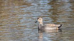 9Q6A5563 (2) - Gadwall (Alinbidford) Tags: alancurtis brandonmarsh gadwall nature wildbirds wildlife