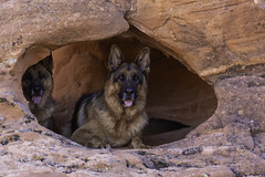 From Out of The Rocks (Art Heart Soul Studio) Tags: gsd germanshepherd nv nevada overton statepark valleyoffire canine dogs