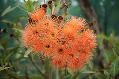 Orange Gum Blossom (BusyBl.Mtns.Grandma) Tags: orange gum blossom gumblossom