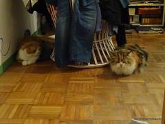 Q1251562 DSC05483 (pierino sacchi) Tags: casalamborghini casa cat cats ellie gatta gatto lamborghini