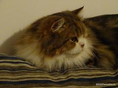 Q1251560 DSC05481 (pierino sacchi) Tags: casalamborghini casa cat cats ellie gatta gatto lamborghini