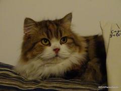 Q1251557 DSC05478 (pierino sacchi) Tags: casalamborghini casa cat cats ellie gatta gatto lamborghini