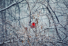 Winterfest (Matt Champlin) Tags: weekend saturday bird birds cardinal red amazing life outdoors canon 2020 pop snow snowy winterfest snowstorm nature landscape